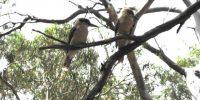 kookaburras_640