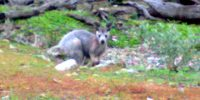 wallaby_640